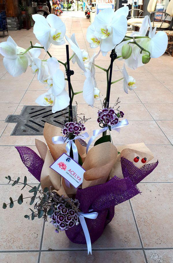 Çift Dal Bol Çiçekli Orkide