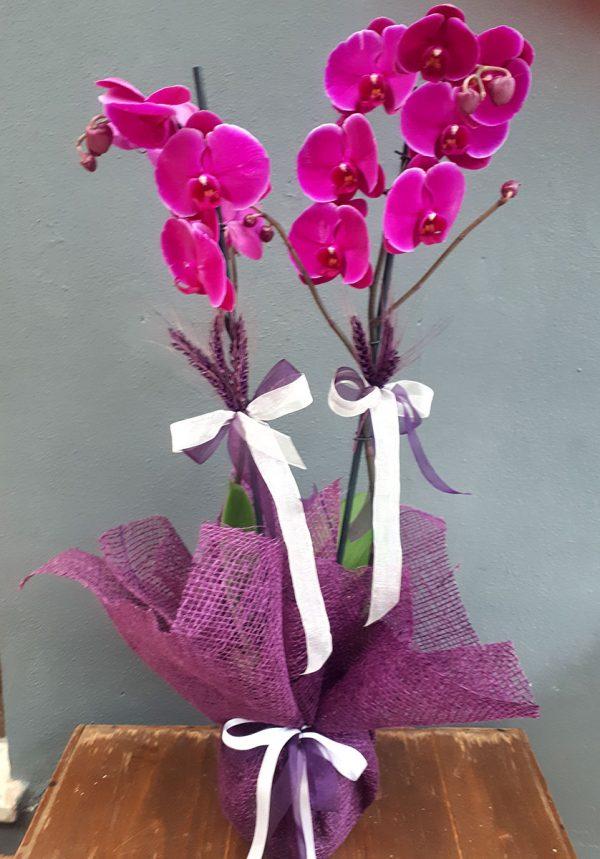 Mor Çift Dal Orkide