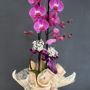 2li Lila Orkide
