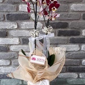 Bordo Renkli Orkide
